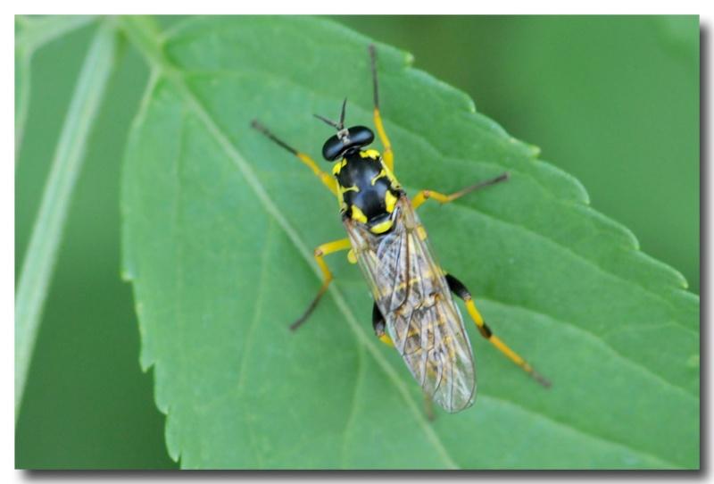 Xylomyia maculata