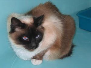 Race chat beige aux yeux bleus