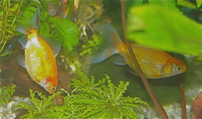 Changement de couleur chez le poisson rouge forum for Nourriture poisson rouge super u
