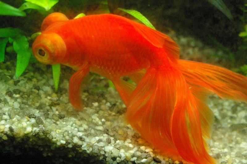 Les poissons du 180 l forum poisson rouge for Achat poisson rouge paris 18