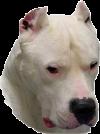 Dogo Argentino Irk Standartları