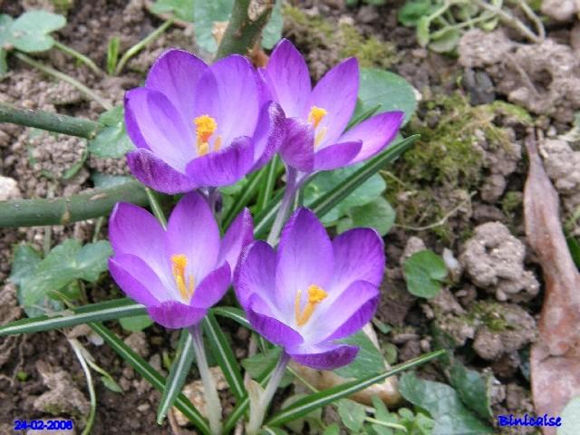 Crocus. dans Fleurs et plantes p2243411