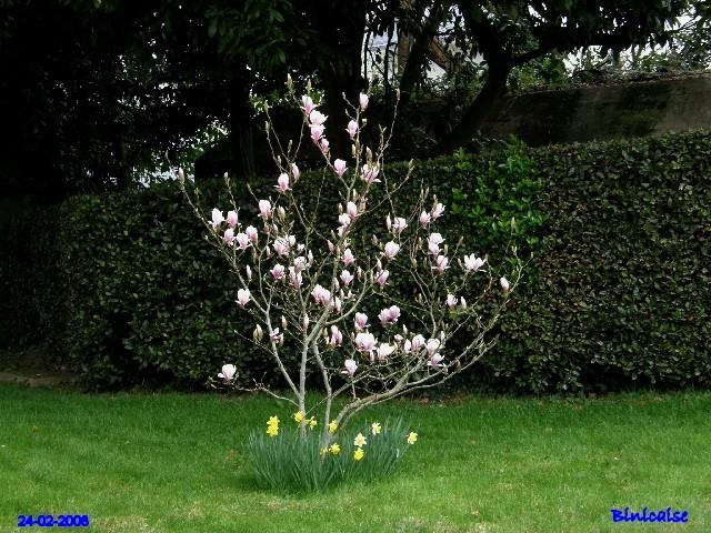 Magnolia rose. dans Fleurs et plantes p2243414