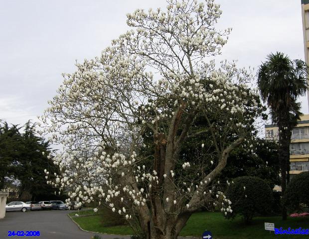 Magnolia blanc. dans Fleurs et plantes p2243419
