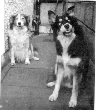 ancienne race de chien de troupeau d'Irlande