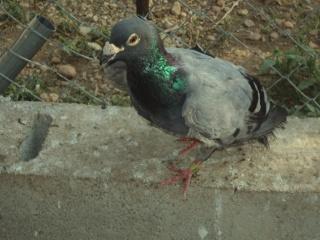 Babacar pigeon handicapé