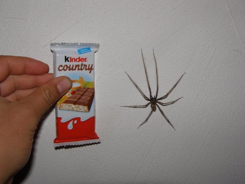 Grosse grosse araigne bouboule for Araignee de maison