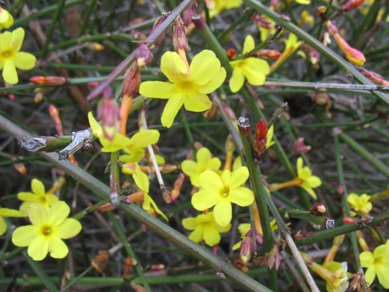 Jasmin d 39 hiver jasminum nudiflorum kriss nature - Taille jasmin d hiver ...