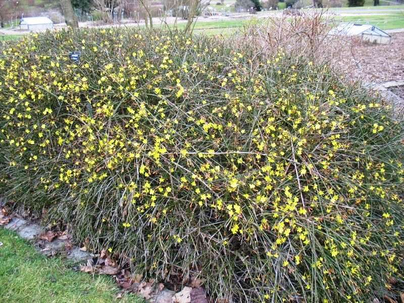 Jasmin d 39 hiver jasminum nudiflorum kriss nature - Jasmin d hiver blanc ...