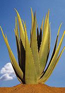 L'Aloe Vera, un Vegetal Medecin