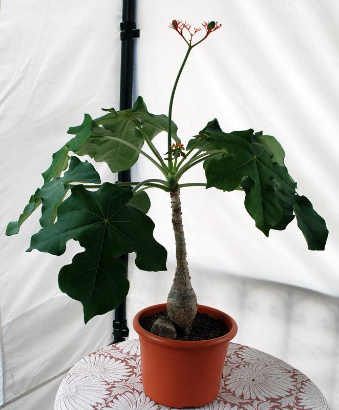 Jatropha podagrica une plante vraiment d corative for Plante verte decorative