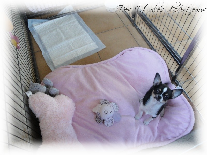elevage des etoiles d 39 artemis eleveur de chiens chihuahua. Black Bedroom Furniture Sets. Home Design Ideas