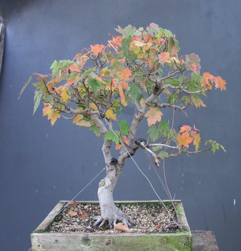 A red maple i collected bonsai - Arce rubrum bonsai ...
