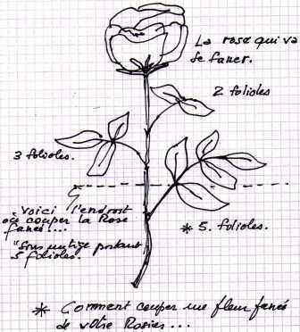 Comment couper les fleurs fan es de vos rosiers - Comment tailler des rosiers ...