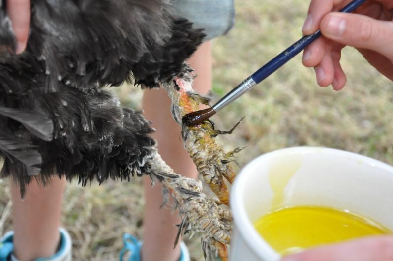 La gale traitement carabiens le forum for Traitement pour les poules