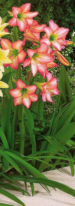 Hypeastrum ou amaryllis de jardin - Faire refleurir un amaryllis ...