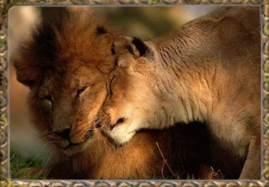 lion-e10.jpg