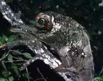 Cryptozoologie Galeopterus variegatus zoologie ahool cryptide volant colugo lemur volant indonésie java créature inconnue singe volant forum