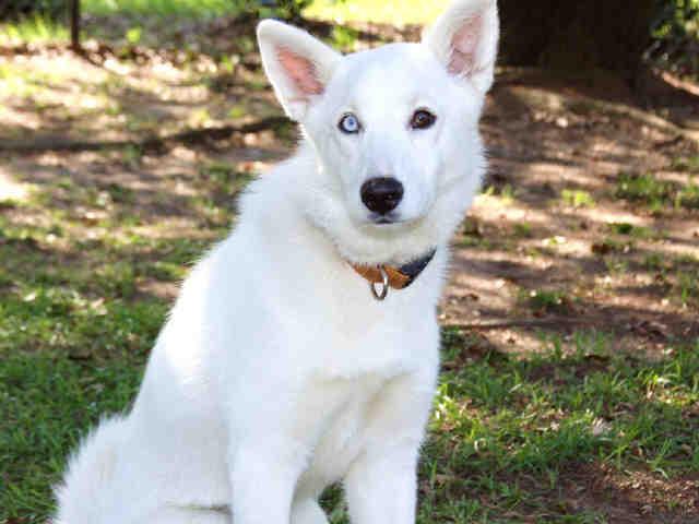 Husky-Wolf hybrid - Page 3