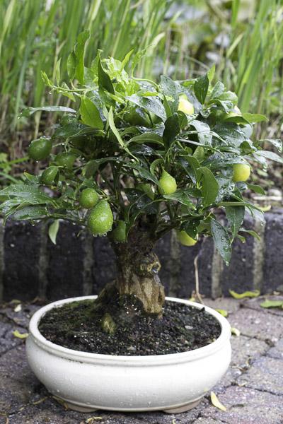Bonsai citrus myrtifolia for Citrus myrtifolia